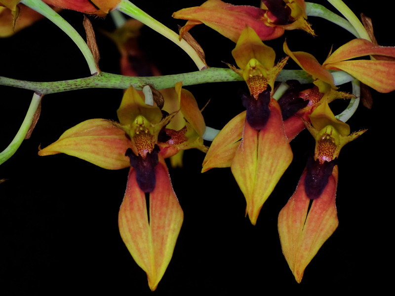 American Orchid Society Pacific South Judging Region Provisional Awards